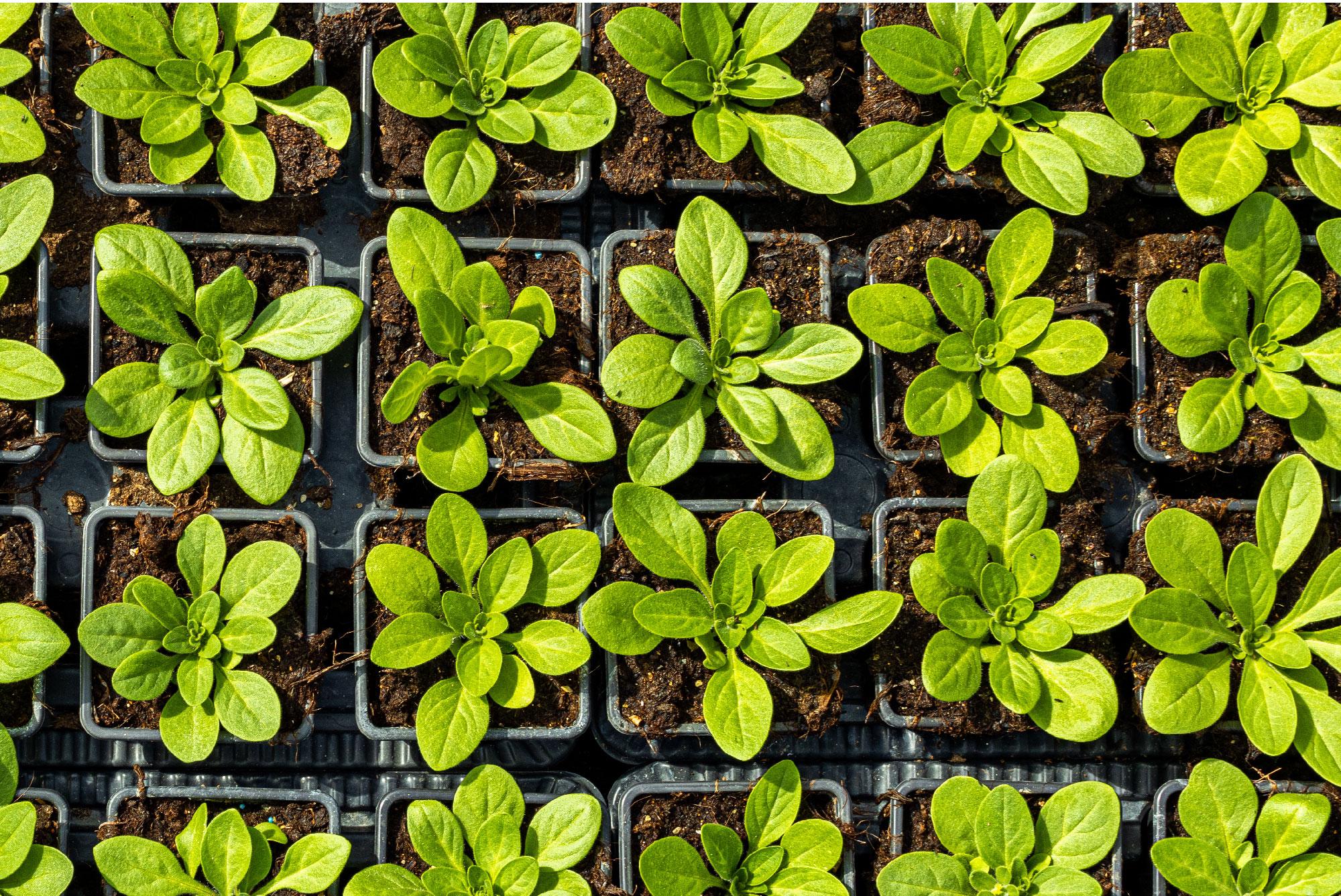 Verdier Horticulture Fleurs des Cévennes à saint Jean du Gard